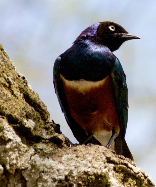 Ordinary starling (Photo: Stig Nygaard / CC BY 2.0)