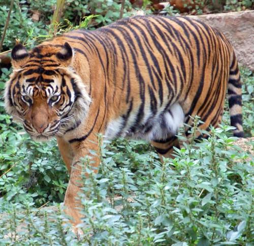 Ordinary tiger