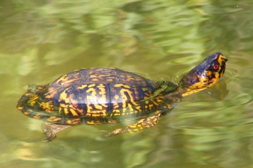 Ordinary turtle (Photo: Brent Moore / CC BY 2.0)