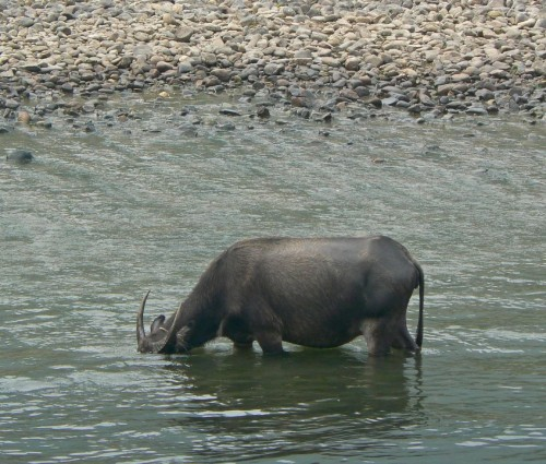 Ordinary water buffalo (Photo: Ben Burkland, Carolyn Cook / CC BY 2.0)