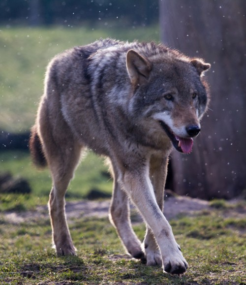 Gray wolf (Photo: Lennart Tange / CC BY 2.0)