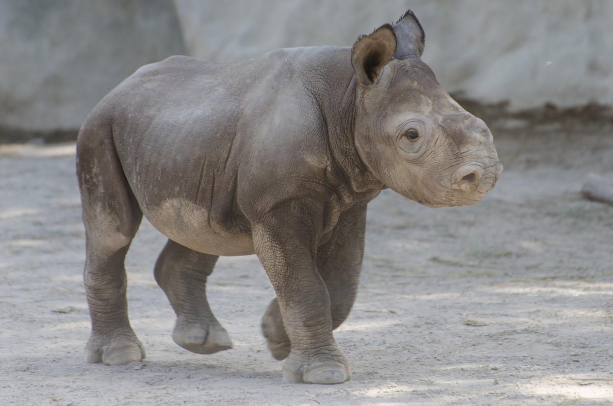 Black rhino cub