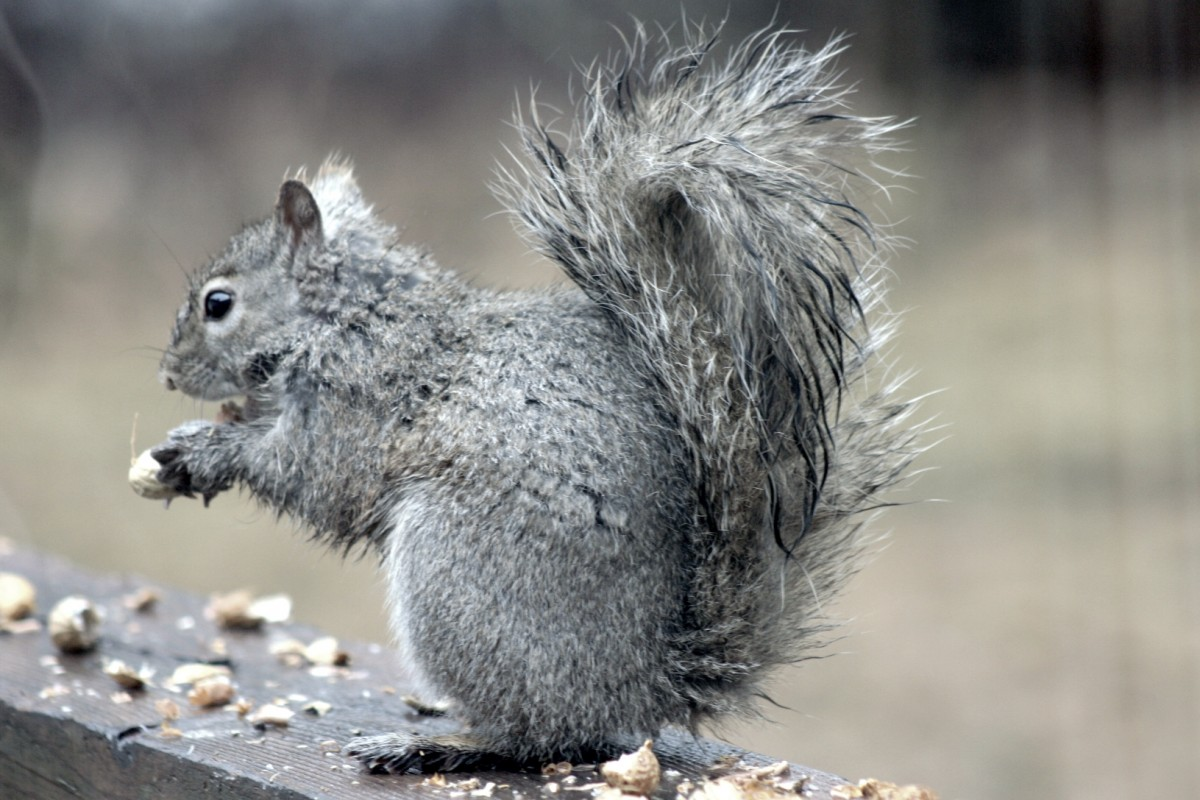 Gray squirrel in the rain