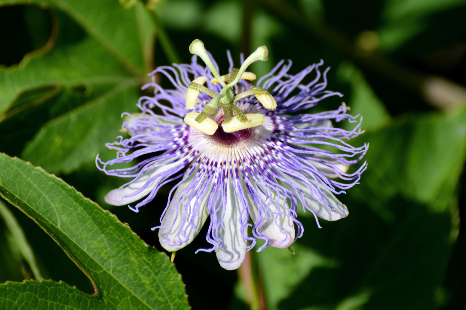All You Should Know about the Passion Flower and the Passion Fruit Miratico