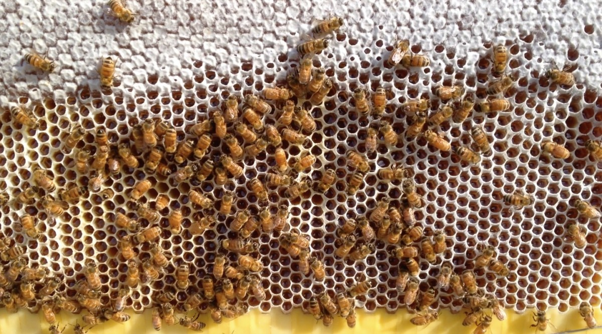 Bees at work on the honeycomb
