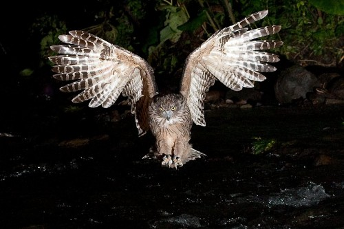 Blakiston's fish owl - Bubo blakistoni