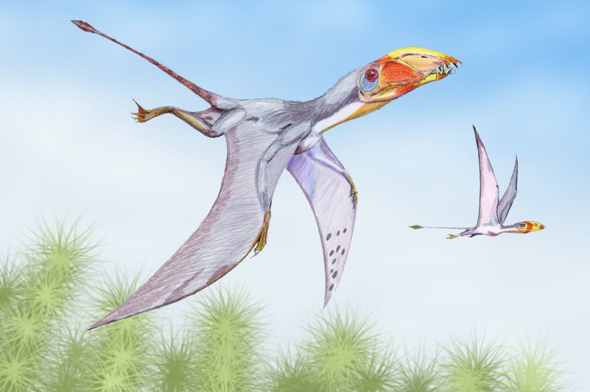 Dimorphodon macronyx