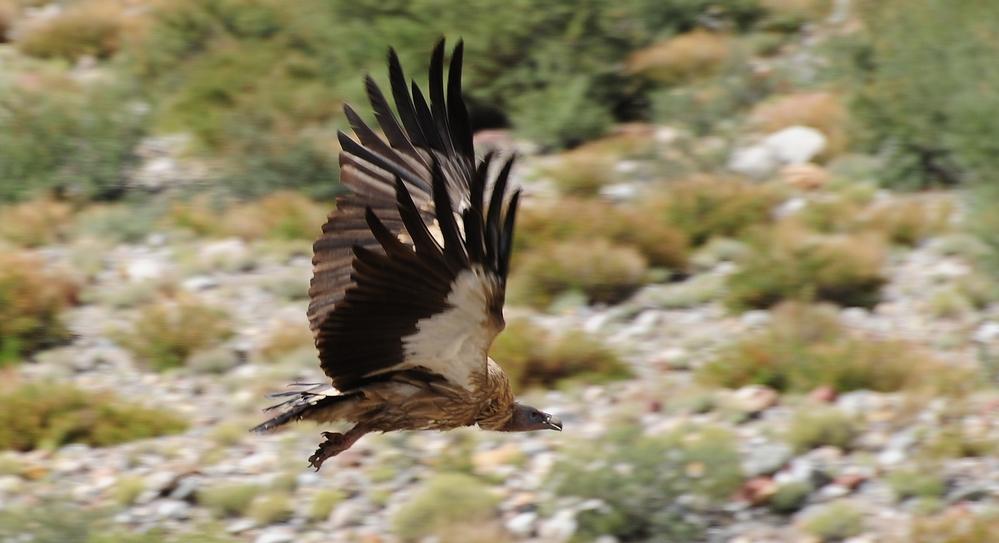 Himalayan griffon vulture - Gyps himalayensis