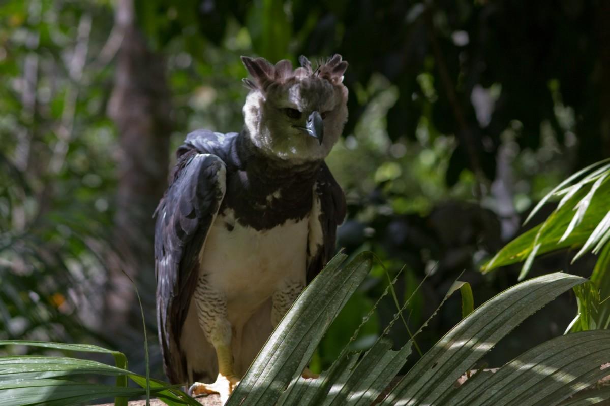 Harpy eagle - Harpia harpyja