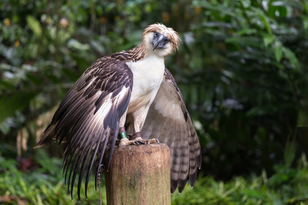 Philippine eagle - Pithecophaga jefferyi