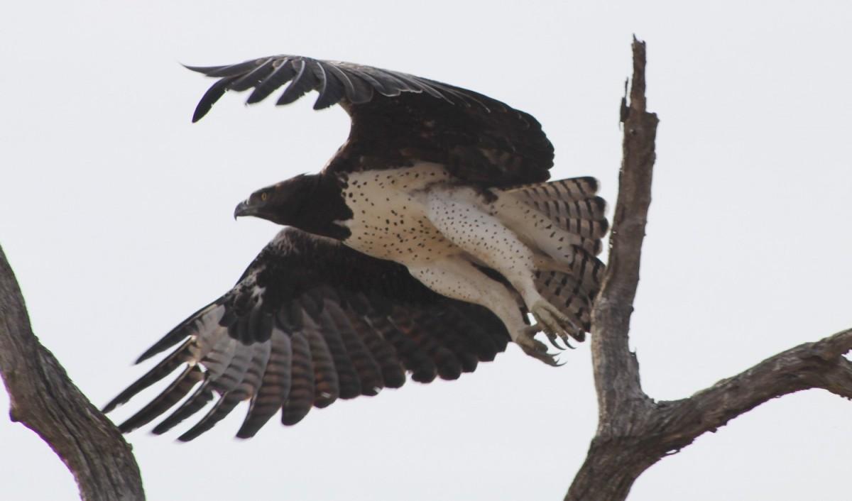 Martial eagle - Polemaetus bellicosus
