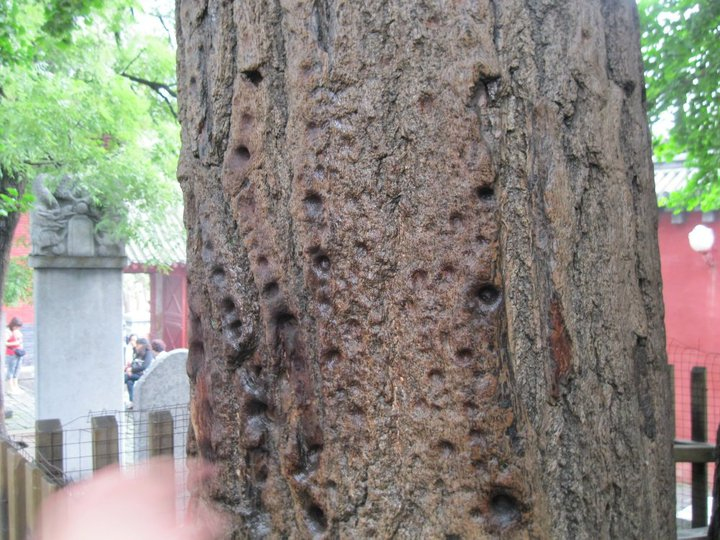 The tree hit several times using finger at Shaolin Temple