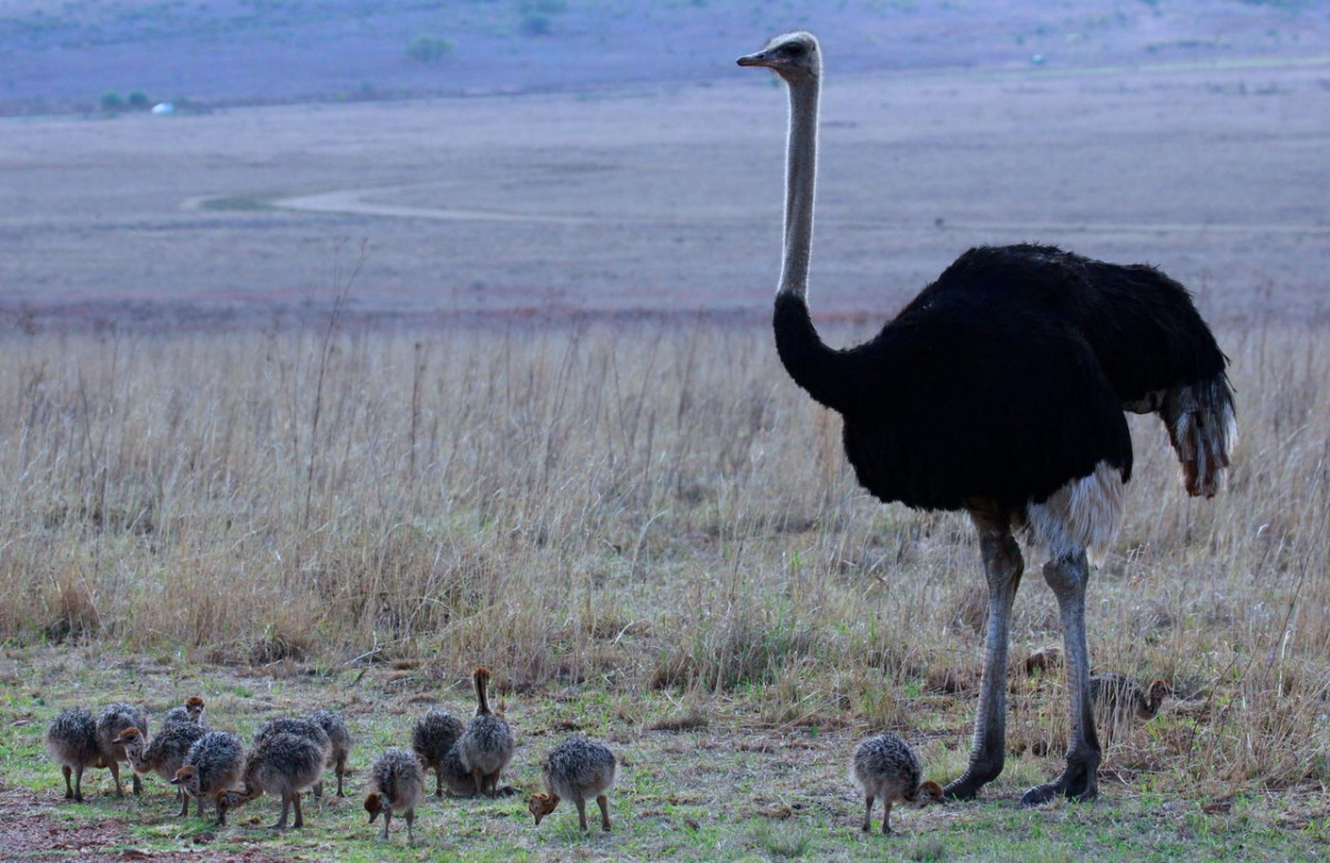 Ostrich with babies