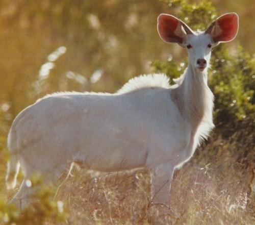 Albino kudu
