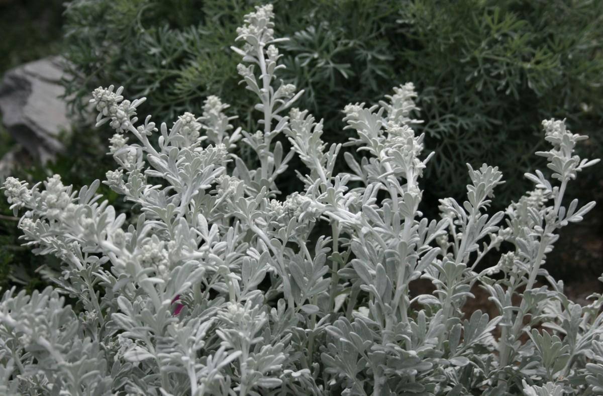 Silver wormwood