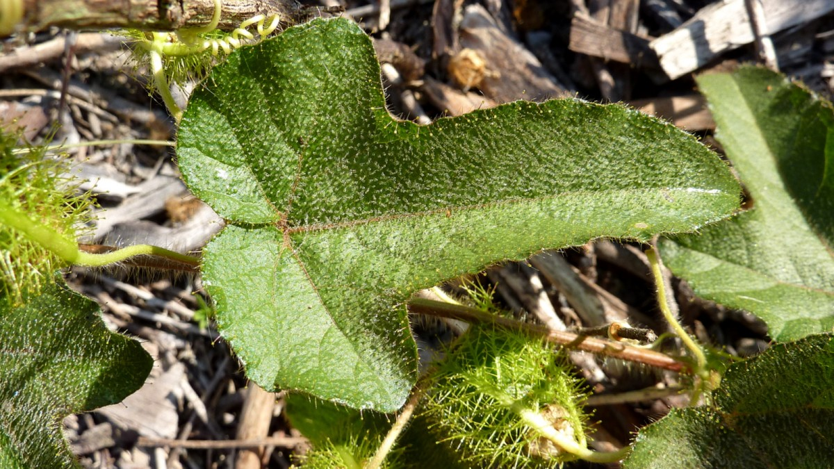 Passiflora foetida leaves