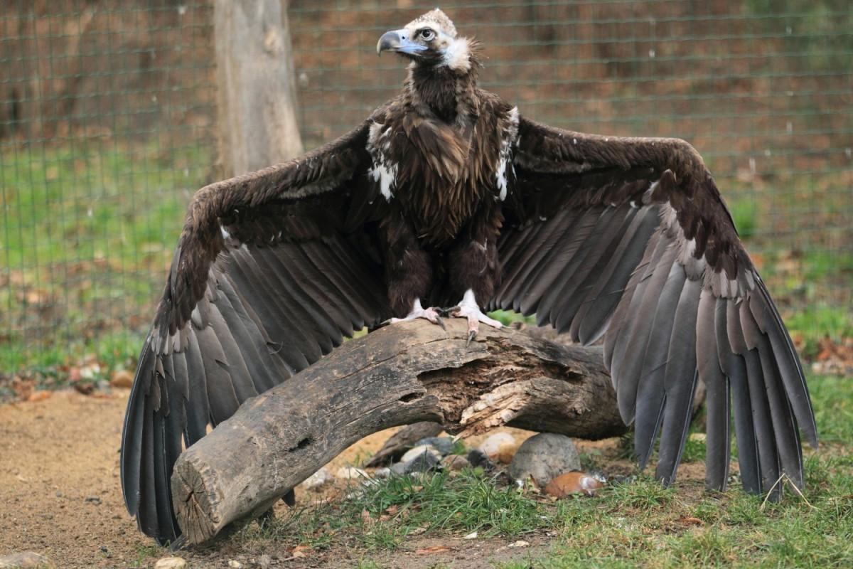 Cinereous vulture - Aegypius monachus
