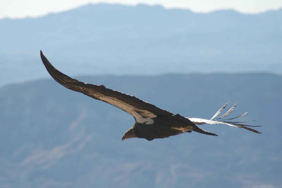 The California Condor - Gymnogyps californianus