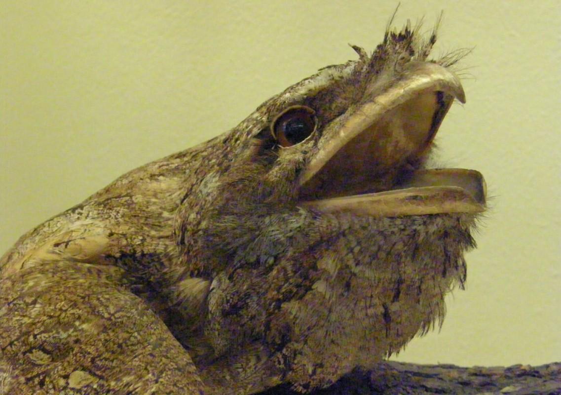 Podargus papuensis