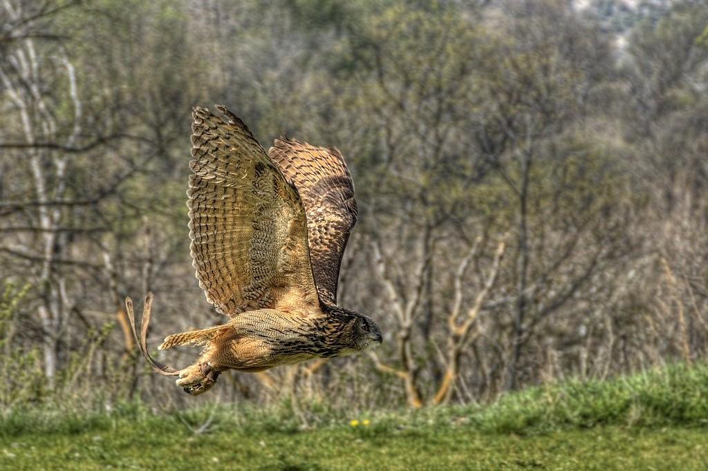 Eurasian eagle-owl - Bubo bubo